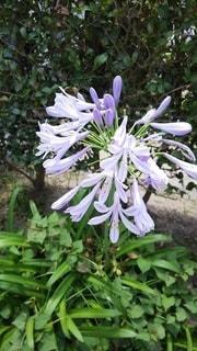 うす紫色の花の写真・画像素材[2277268]