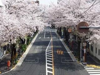 桜の写真・画像素材[90029]