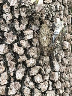 木に止まっている蝉の写真・画像素材[2274280]