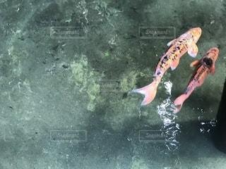 水の中を優雅に泳ぐ鯉の写真・画像素材[2316754]