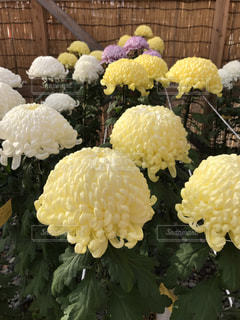 大輪の菊の写真・画像素材[2715678]