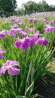 植物の紫色の花のクローズアップの写真・画像素材[2275350]