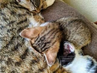 親子猫の写真・画像素材[2323990]