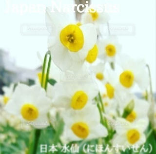 日本水仙の写真・画像素材[4343252]