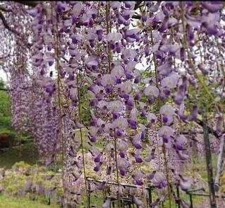 大きな紫色の花が森の中にあるの写真・画像素材[4361622]