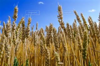 麦の背比べの写真・画像素材[2294151]