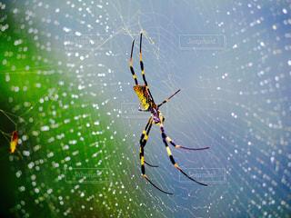 雨上がりと女郎蜘蛛の写真・画像素材[2275219]