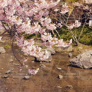 川と桜の写真・画像素材[2277544]
