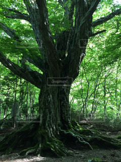 大きな木の写真・画像素材[2281214]