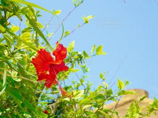 植物の赤い花の写真・画像素材[2283424]
