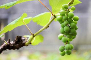 葡萄の写真・画像素材[2281799]