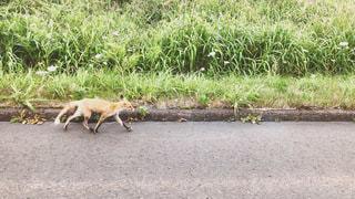 道路脇を走る野生のキツネの写真・画像素材[3538748]