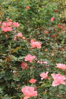 ピンクの薔薇の写真・画像素材[3866939]