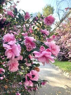 サザンカの咲く道の写真・画像素材[4023273]