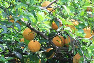 枝からぶら下がっている果物の写真・画像素材[4525729]