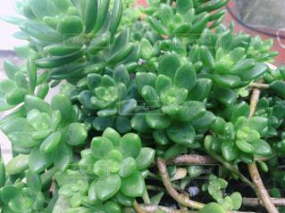 多肉植物の写真・画像素材[2285963]