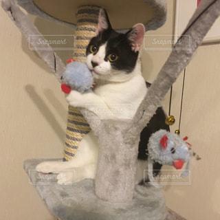 キャットタワーに座る猫の写真・画像素材[2286255]