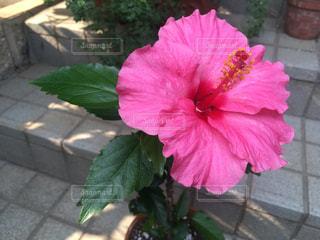 ピンク色のハイビスカスの写真・画像素材[2311283]