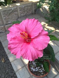 ピンク色のハイビスカスの写真・画像素材[2311286]