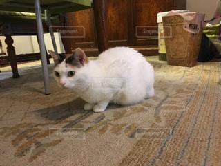 緊張している三毛猫の写真・画像素材[2756655]
