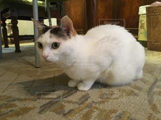 緊張している三毛猫の写真・画像素材[2756663]
