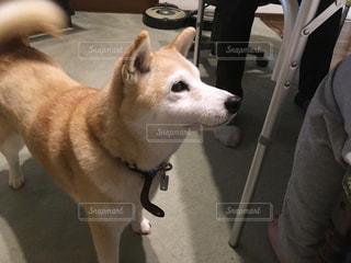 しば犬の写真・画像素材[2996105]