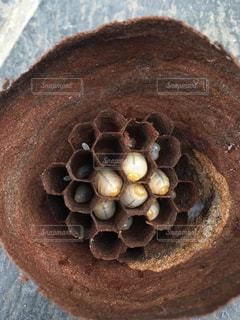 スズメバチの幼虫の写真・画像素材[3026520]