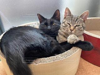 猫の兄妹の写真・画像素材[3135828]