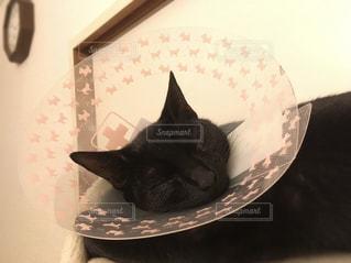 エリザベスカラーをつけた猫の写真・画像素材[3135936]