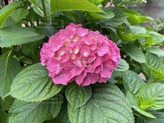ピンク色のアジサイの写真・画像素材[3295324]