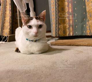 三毛猫の写真・画像素材[3303163]