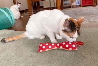 おもちゃで遊ぶ三毛猫の写真・画像素材[3311639]