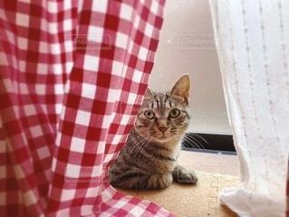 カーテン越しに座っている猫の写真・画像素材[3583166]