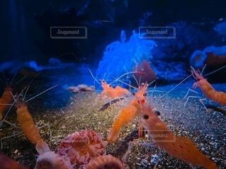 海底のオハラエビの写真・画像素材[3828314]