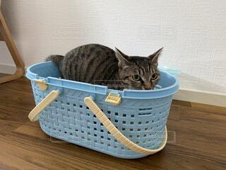 ペットキャリーに入る猫の写真・画像素材[3868508]