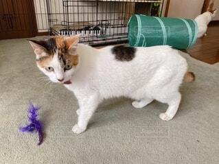 家の中で遊ぶ三毛猫の写真・画像素材[4033740]