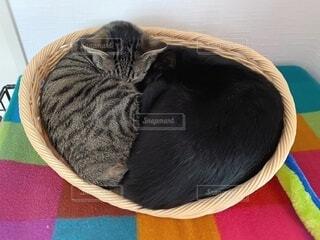 ベッドで丸まって眠る二匹の猫の写真・画像素材[4062694]