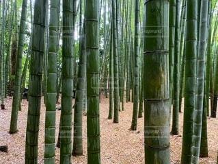 竹林の写真・画像素材[4100358]