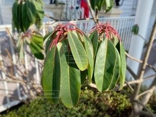 ユズリハの葉っぱの写真・画像素材[4170424]
