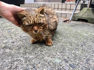 撫でられている猫の写真・画像素材[2303989]