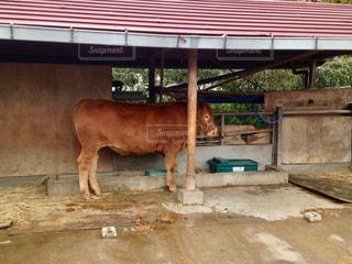 牛の写真・画像素材[2367233]