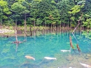 蒼霧鯉池の写真・画像素材[4600853]
