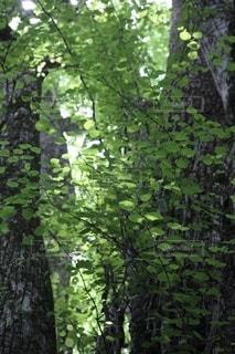 森の中の木の写真・画像素材[3337045]