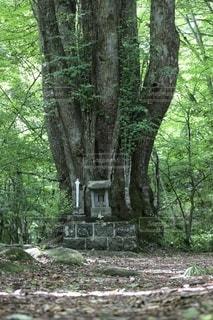 森の中にある巨木の写真・画像素材[3337049]