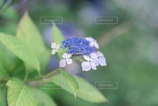 紫陽花のクローズアップの写真・画像素材[2291036]