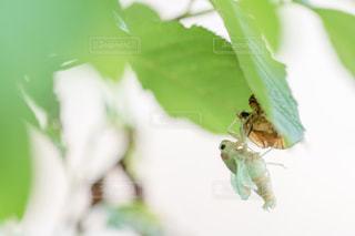 蝉の脱皮の写真・画像素材[2307402]