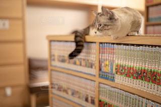 本棚の上に座っている猫の写真・画像素材[2314492]