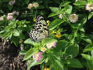 蝶の写真・画像素材[2292827]