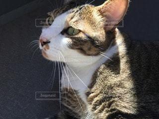 猫 キジトラ白の写真・画像素材[89868]