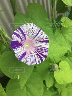 植物の紫色の花の写真・画像素材[2294852]
